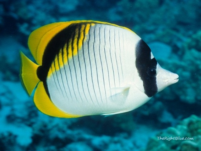 Butterflyfish of lines