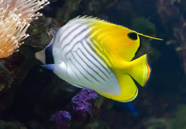 Charioteer butterfly fish