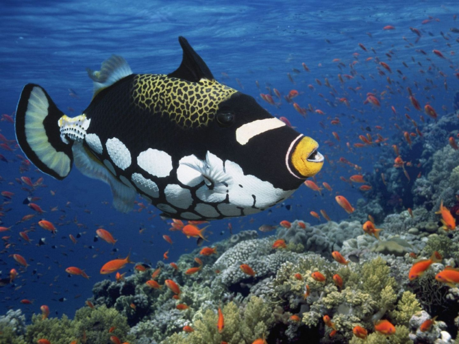 Clown crossbow fish