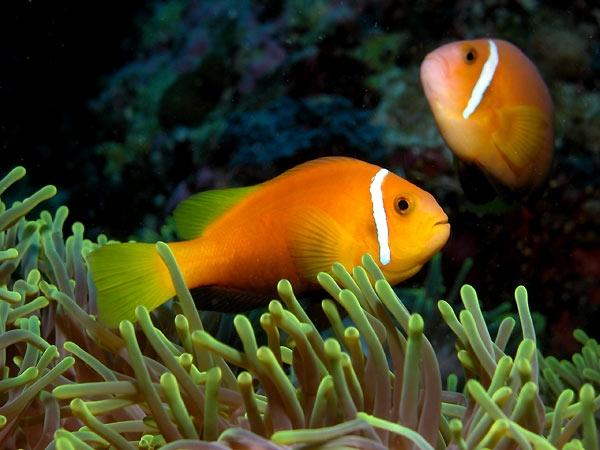 Clown fish of the Maldives