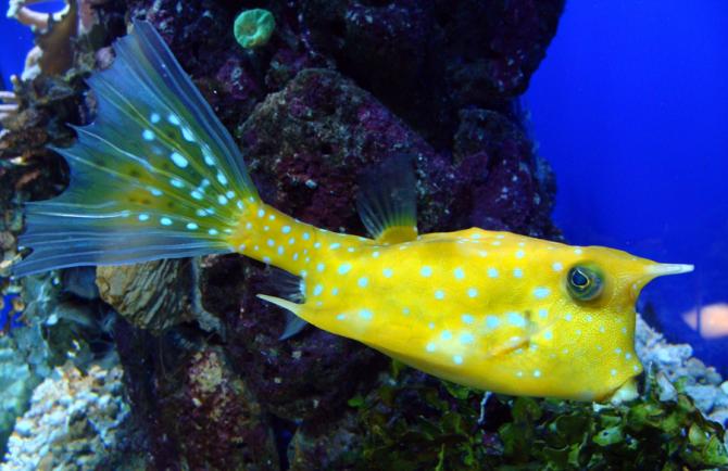 Cuckold Fish