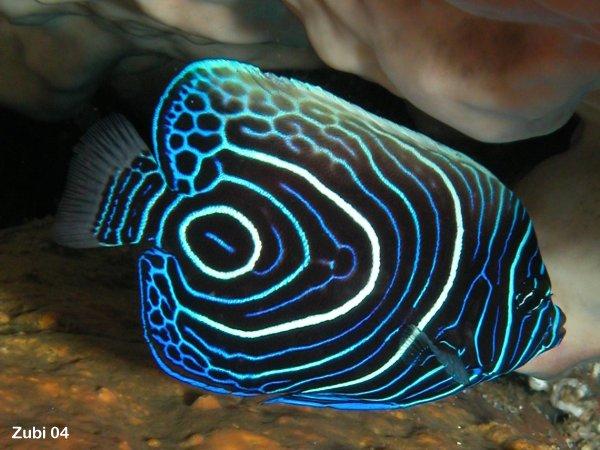 Emperor angelfish (young)