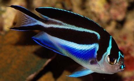 Flowery angelfish