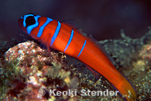 Goby with blue bands