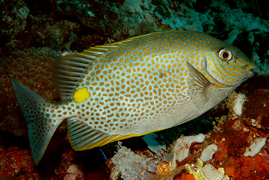 Golden Spotted Rabbit Fish