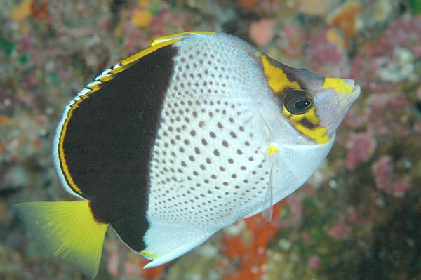 Hawaiian butterfly fish