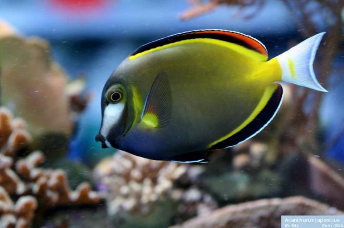 Japan surgeon fish