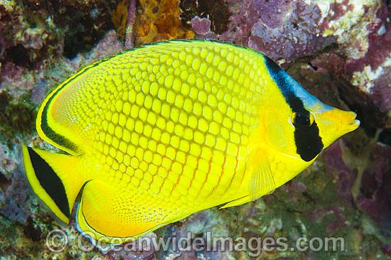 Lattice Butterfly Fish