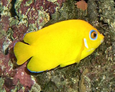 Lemonpeel angelfish