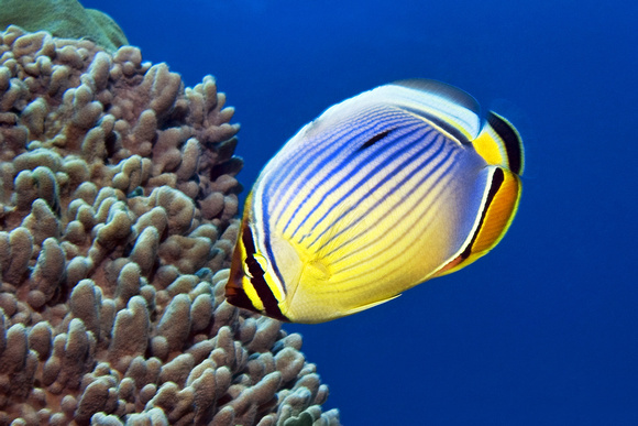 Lion butterfly fish