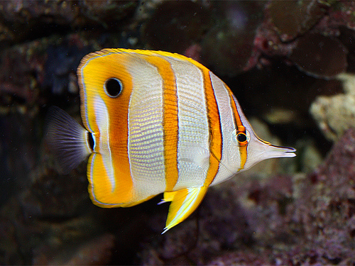 Long-nosed butterfly fish