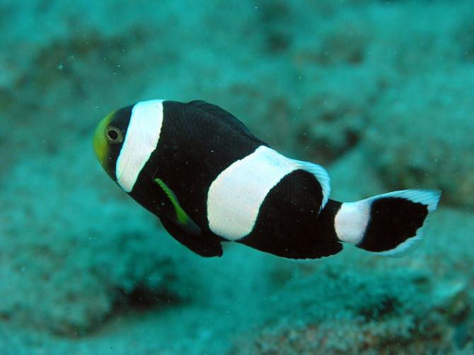 Mount clownfish