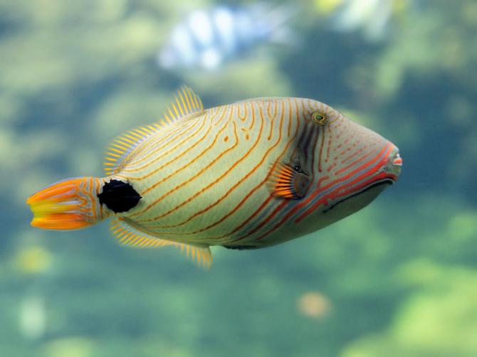 Orange lines crossbow fish