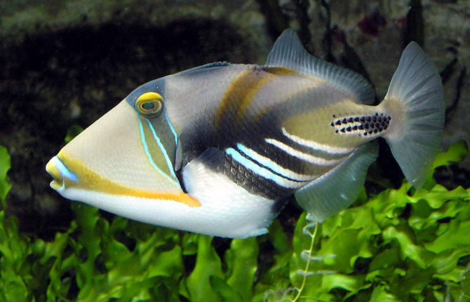 Picasso crossbow fish