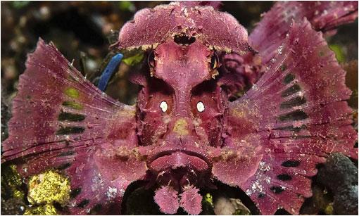Pink scorpion fish