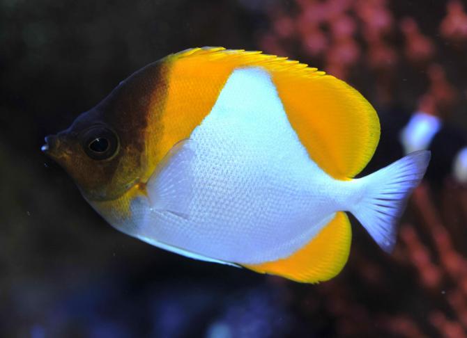 Pyramid fish