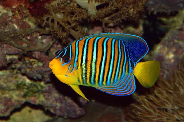 Real angelfish