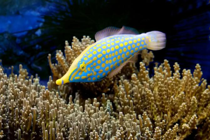 Snout needlefish
