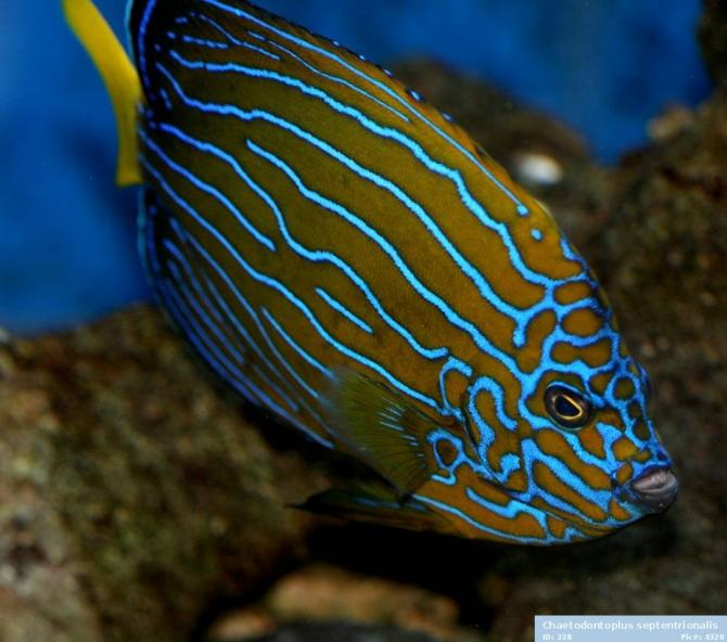 Striped Blue Angel Fish