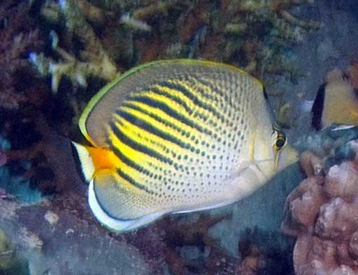 Sunset butterfly fish