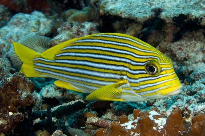 Sweet lips fish
