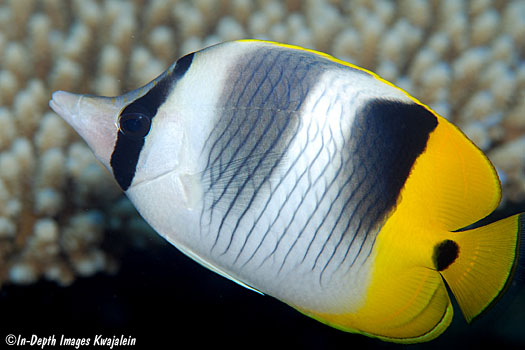 Two-spotted Pacific butterfly fish