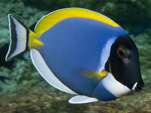 White-throated surgeonfish