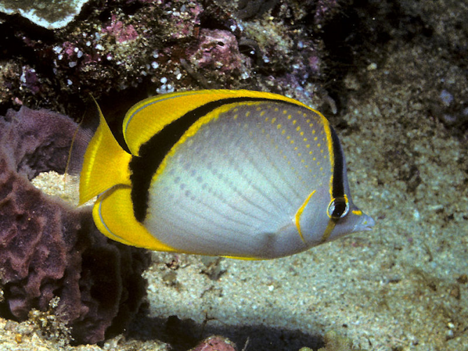 Yellow Dot Butterflyfish