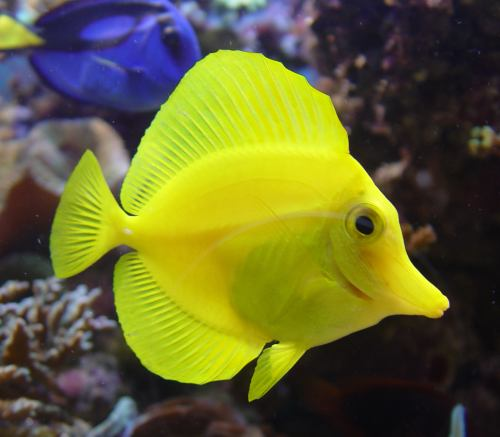 Yellow surgeon fish