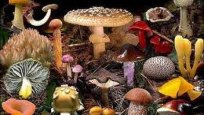 6 jamur paling beracun di dunia