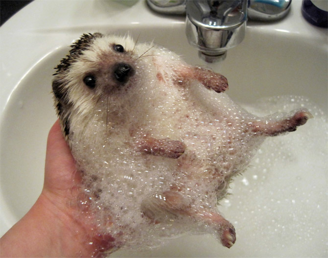 A hedgehog soaking: 'scratch my belly ...'