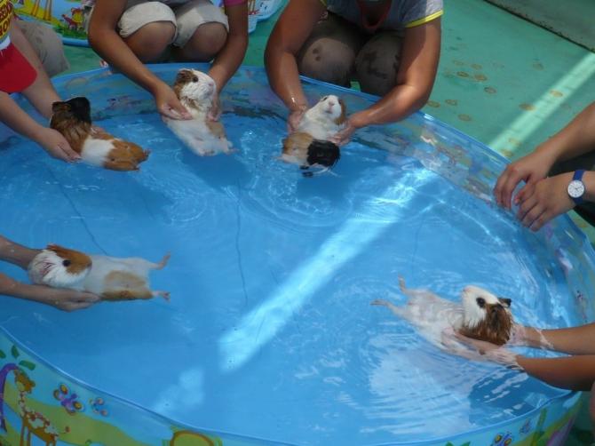 Clase de natación para roedores