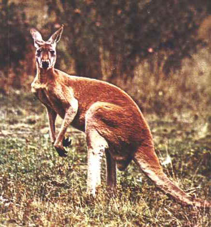 A kangaroo can live to be 18 years old.