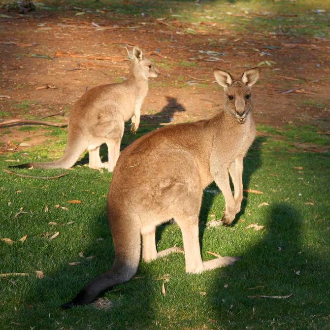 Cangurus são encontrados na Austrália, Tasmânia e Nova Guiné.