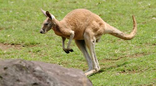 Devido à sua cauda espessa e à forma incomum de suas pernas, um canguru tem dificuldade em retroceder.