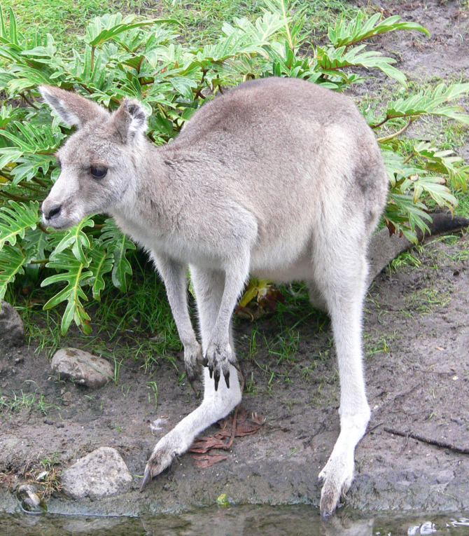 Due to its long legs it is very difficult for a kangaroo to walk slowly, when it requires it it has to move with all four legs, also helping itself from the tail.