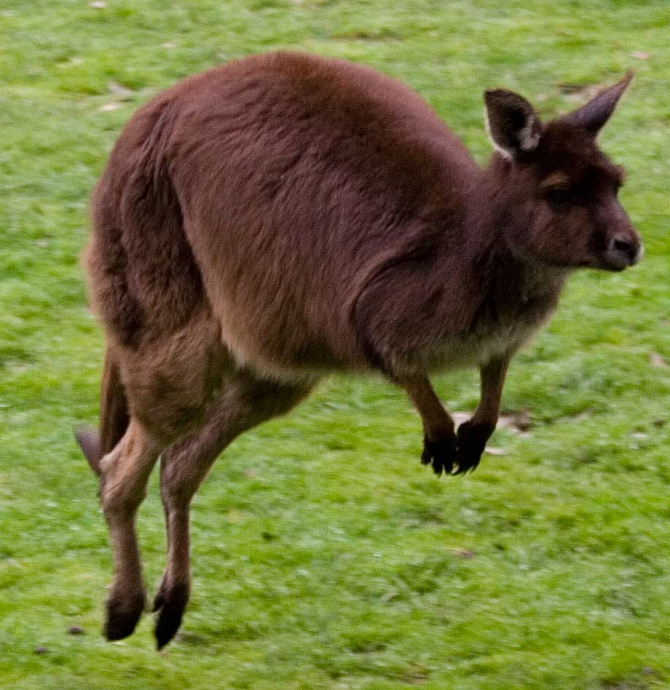 Este animal pode saltar obstáculos com 3 metros de altura.