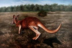 Kangaroos are the only large animals that move around jumping.