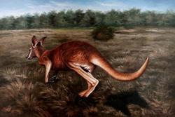 Os cangurus são os únicos animais grandes que pulam.