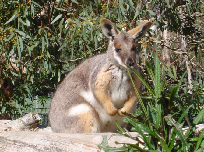 There are about 47 kangaroo species, which vary from the size of a wallabi (approximately one kilogram) to the size of a red kangaroo (135 kilograms).