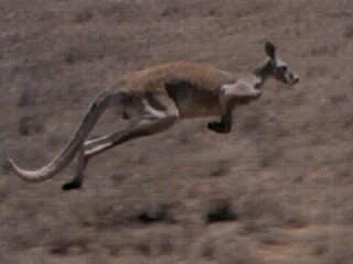 Um canguru pode pular a uma velocidade de 60 km / h.