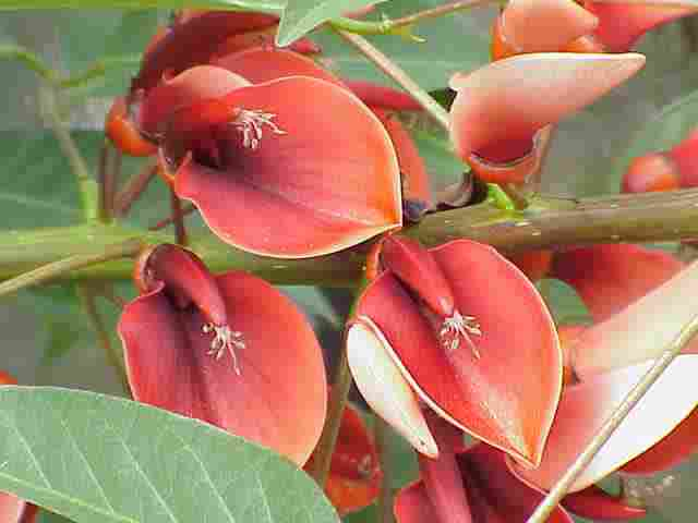 National Flower of Argentina and Uruguay: Ceibo.