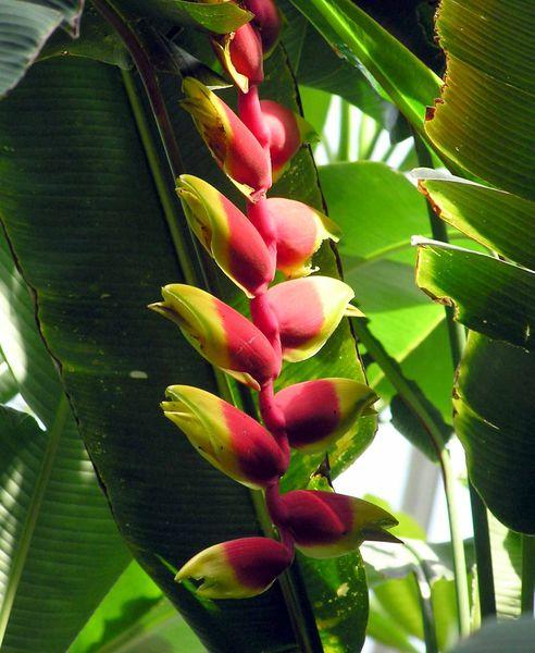 National Flower of Bolivia: Patujú.