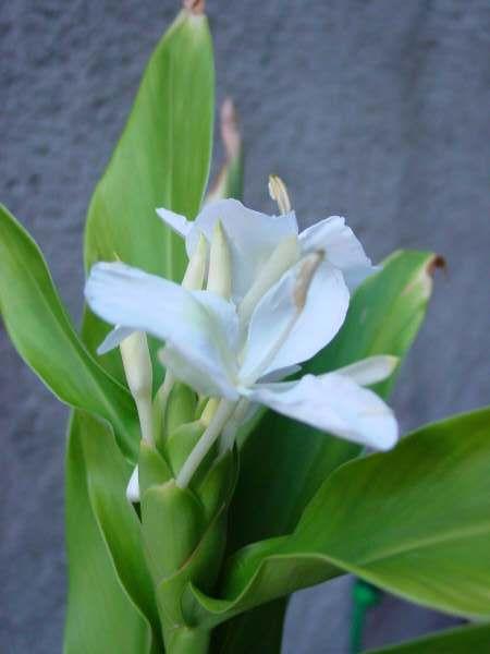 National Flower of Cuba: Mariposa.