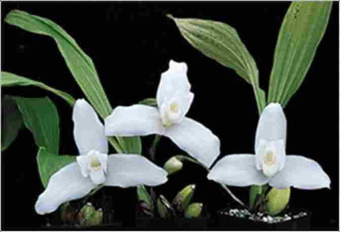 National Flower of Guatemala: White Nun.