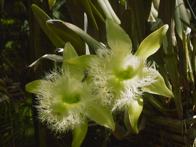 National Flower of Honduras: Virgin Orchid.