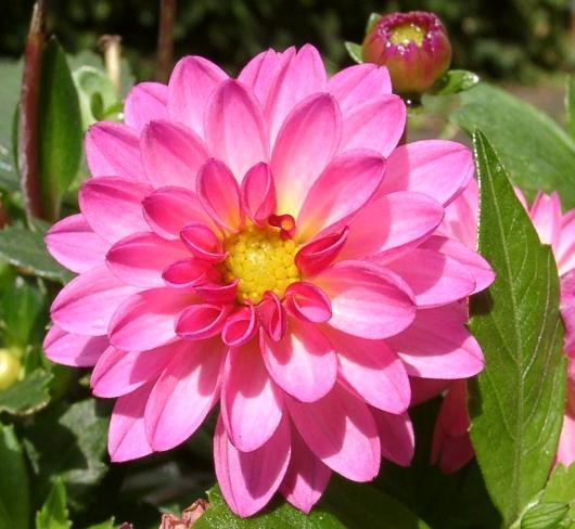 National Flower of Mexico: Dahlia.