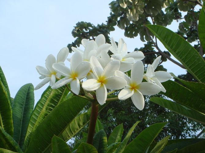 National Flower of Nicaragua: Sacuanjoche.