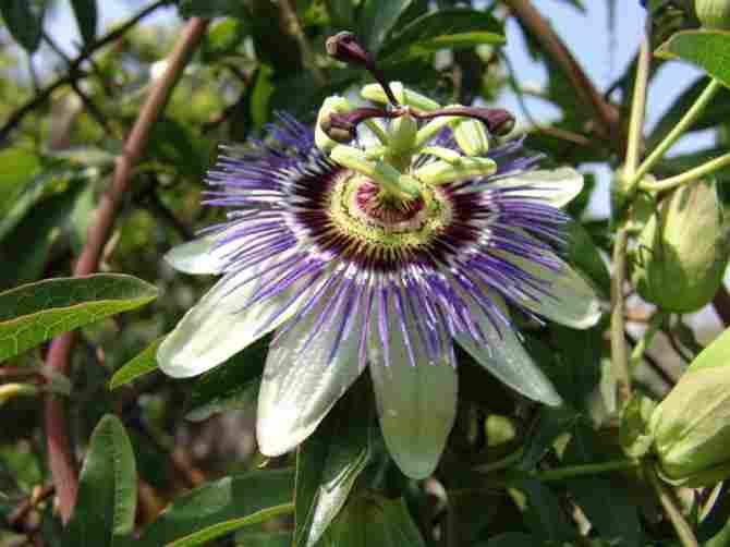 National Flower of Paraguay: Mburucujá.