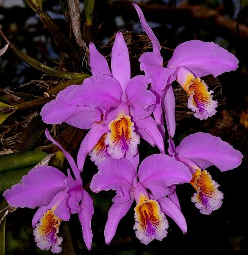National Flower of Venezuela: Flor de Mayo.